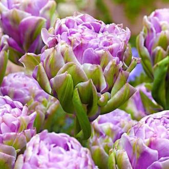 Тюльпан махровий Вайолет Прана зображення 4