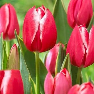 Тюльпан багатоквітковий Драгон Кінг зображення 8