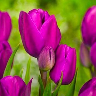 Тюльпан многоцветковый Пурпл Букет рисунок 2
