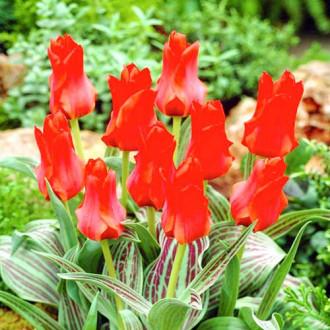 Тюльпан Грейга Ред Торч зображення 2