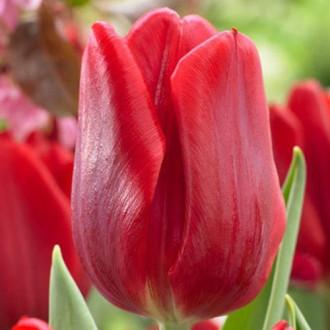 Тюльпан Руби Принц рисунок 7