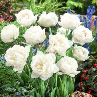 Тюльпан бахромчатый Сноу Кристал рисунок 3