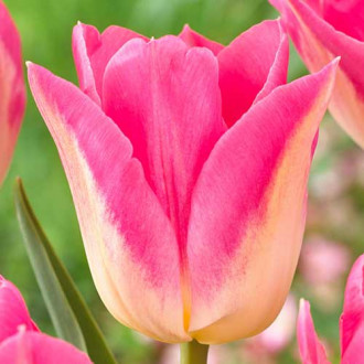 Тюльпан Триумф Роял Тен рисунок 1