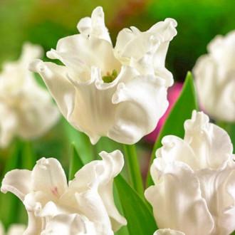 Тюльпан Тріумф Вайт Ліберстар зображення 8