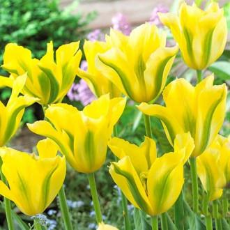 Тюльпан зеленоцветный Йеллоу Спринг Грин рисунок 5
