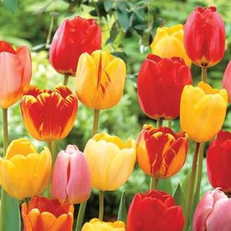 Тюльпани Дарвіна Ангел, мікс зображення 2