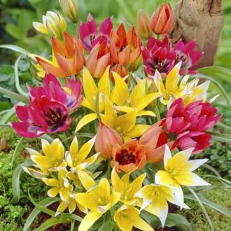 Тюльпани ботанічні, мікс зображення 6