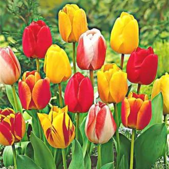 Тюльпаны Дарвина, микс рисунок 4