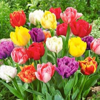 Тюльпани махрові, мікс зображення 8