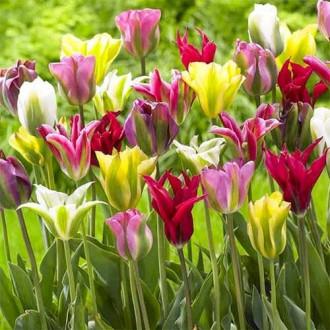 Тюльпаны зеленоцветные, микс рисунок 3
