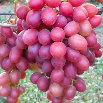 Виноград Анюта зображення 8