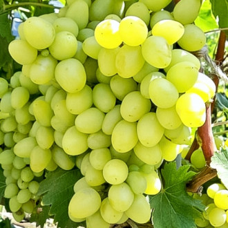 Виноград Аркадия рисунок 5