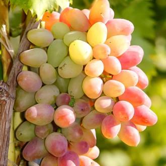 Виноград Арочный рисунок 8