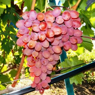 Виноград Багровый рисунок 6