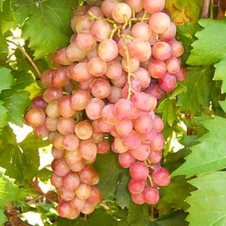 Виноград Гурман лакомка зображення 4