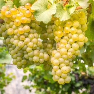 Виноград кишмиш білий зображення 7