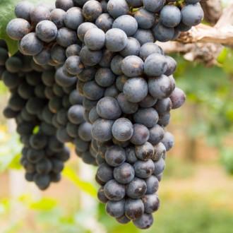 Виноград кишмиш чорний зображення 3