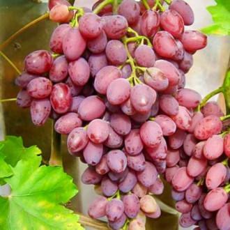 Виноград кишмиш Лучистый рисунок 5