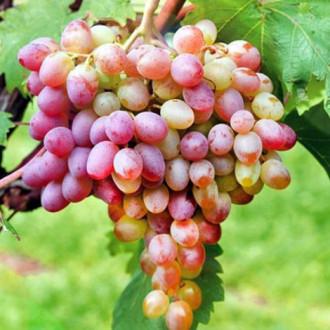 Виноград Лівія зображення 6