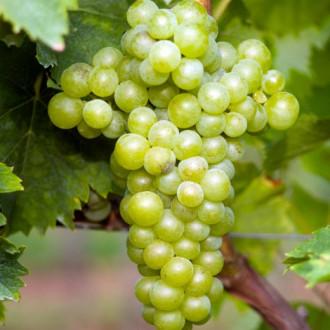 Виноград Мускат білий зображення 4