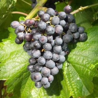 Виноград Мускат блау рисунок 4