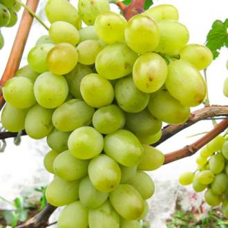 Виноград Новий Подарунок Запоріжжю зображення 7
