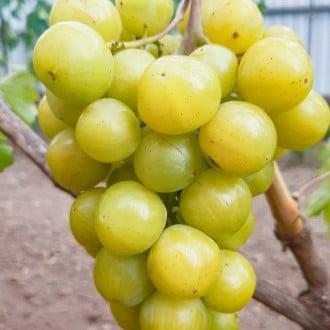 Виноград Прима Украина рисунок 2