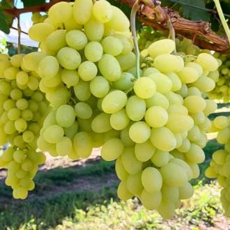 Виноград Сенатор Бурдака зображення 3