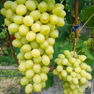 Виноград Слава Украине рисунок 8