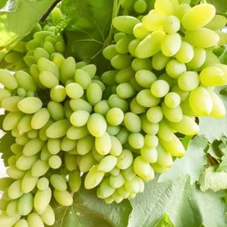 Виноград Тимур зображення 6