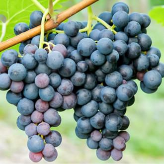 Виноград Триумф рисунок 7