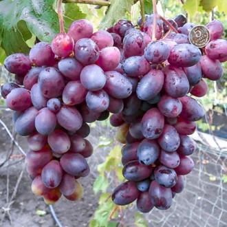 Виноград Ватикан рисунок 6
