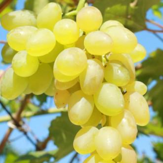 Виноград Верона зображення 8