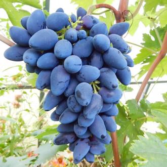 Виноград Вікінг зображення 7