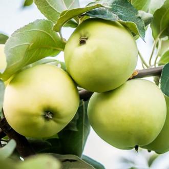 Яблуня Білий налив зображення 2