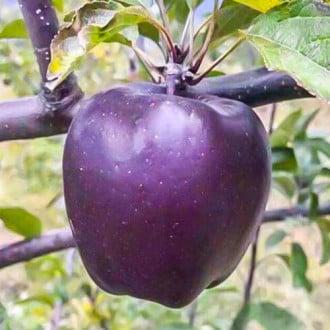 Яблоня Черный бриллиант рисунок 8