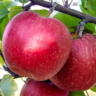 Яблоня Фуджи рисунок 6