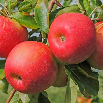 Яблоня Гала рисунок 8