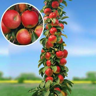 Яблуня колоновидна Арбат зображення 7