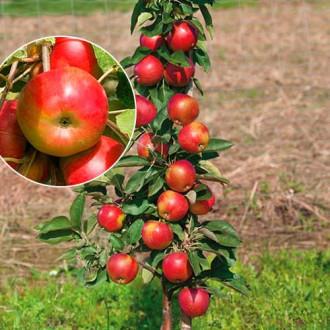 Яблуня колоновидна Еліта зображення 8