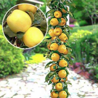 Яблуня колоновидна Медок зображення 4