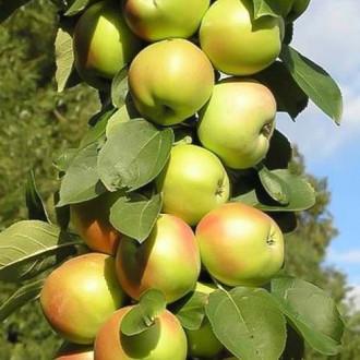 Яблуня колоновидна Патріот зображення 3