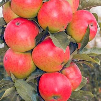 Яблуня колоновидна Валюта зображення 1