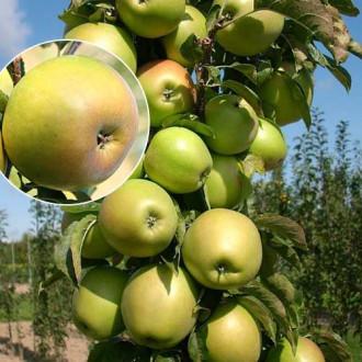 Яблоня колоновидная Янтарное ожерелье рисунок 5