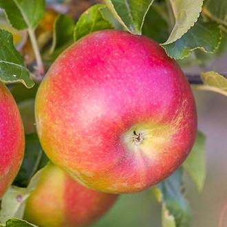 Яблоня Лигол рисунок 3