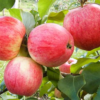 Яблоня Мельба рисунок 1