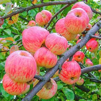 Яблуня Яблучний Спас зображення 5