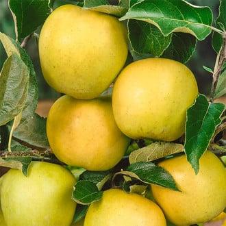 Яблоко-груша Голден Делишес рисунок 4