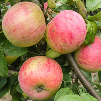 Яблоня Антоновка десертная рисунок 7
