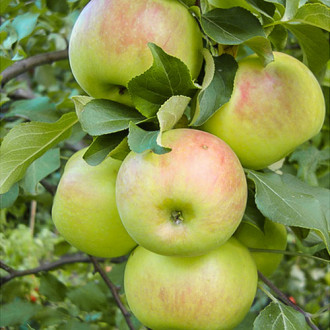 Яблуня Богатир зображення 1